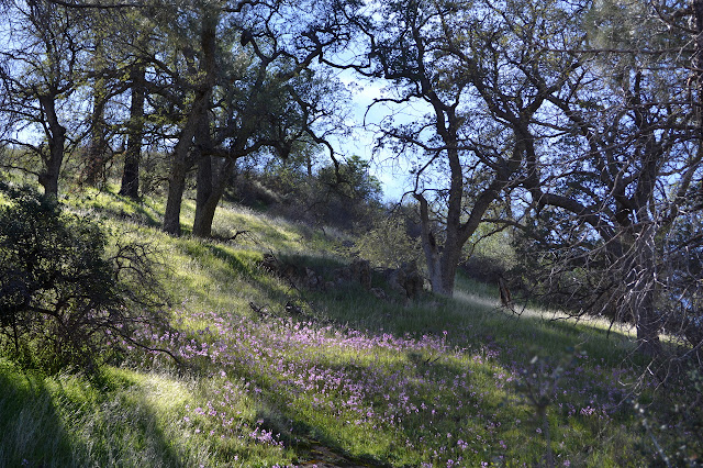 valley oaks and shooting stars
