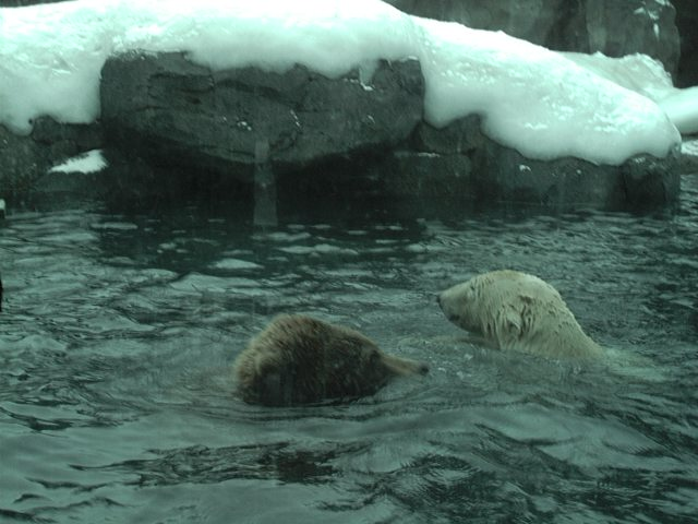 Urso pardo vs Urso polar - Página 2 Oreoaphun