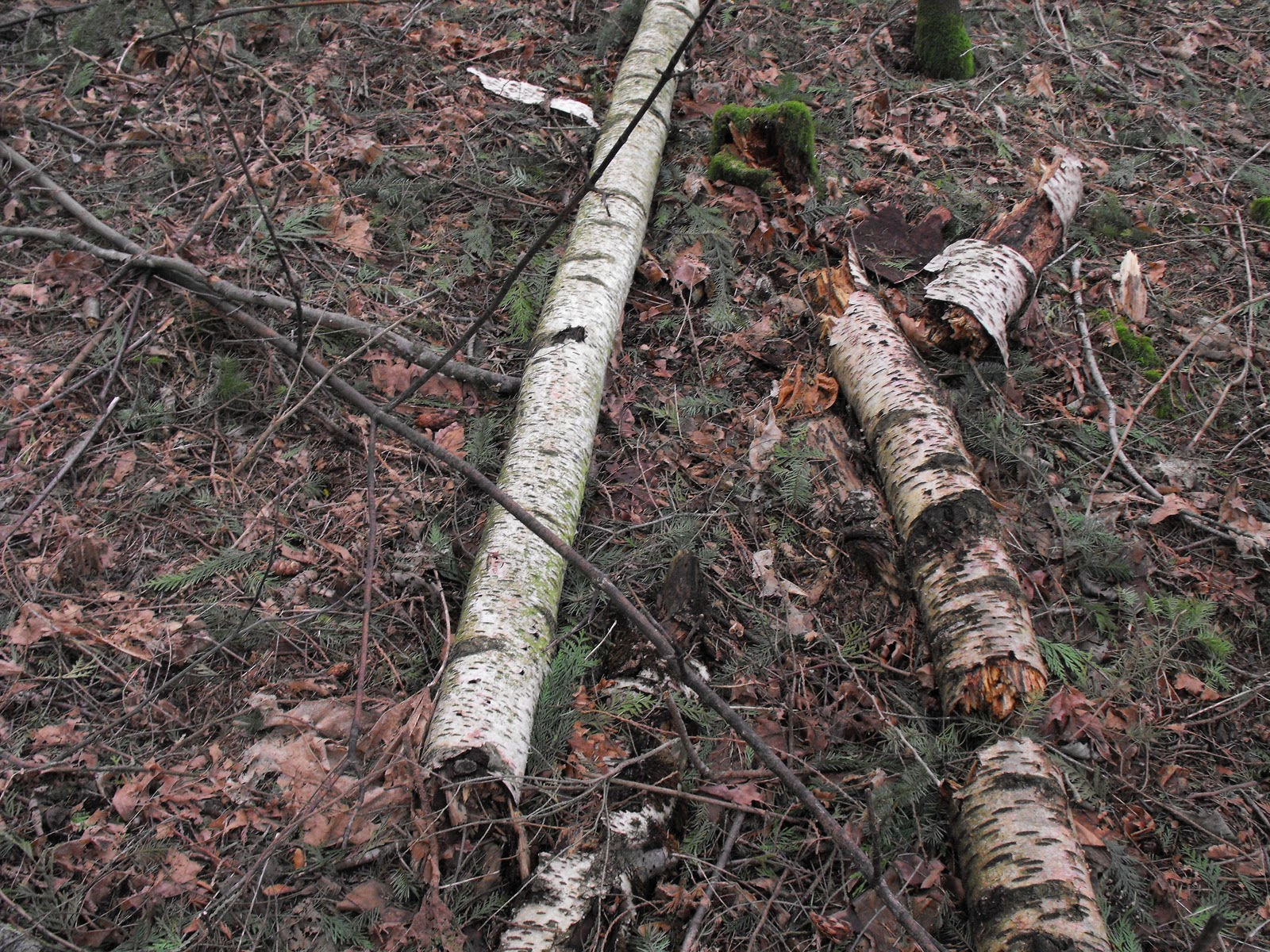 How to make tree bark vases crafty little gnome look for deciduous trees like birch rather than evergreens trees that are decomposing will be the easiest to pull the bark off score a cut down the center reviewsmspy