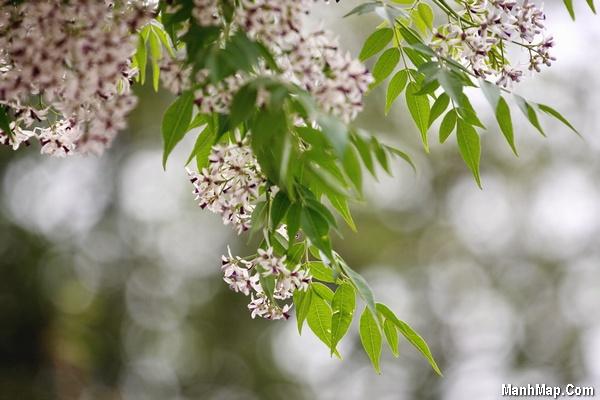 thơ mùa hoa xoan