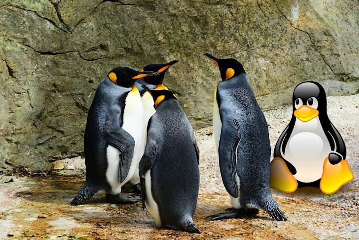 Pinguins em cativeiro: Quatro pinguins reis olhando para cima, atrás um rocha que preenche todos os limites da imagem.