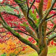 Сон дерево
