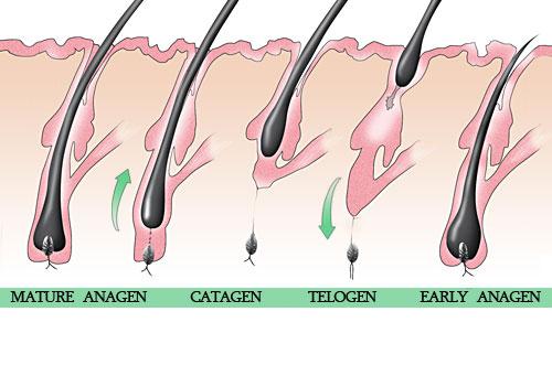 hair shedding cycles #10