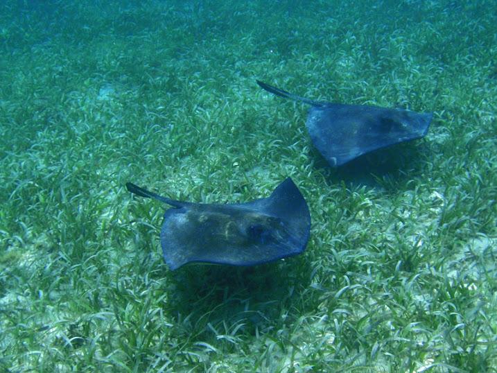 Dasyatis americana (Southern Stingray) off Ambergris Caye, Belize.