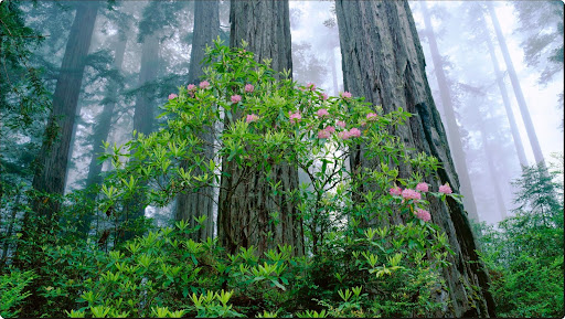 Coast Redwood Grove and Rhododendrons, Redwood National Park, California.jpg