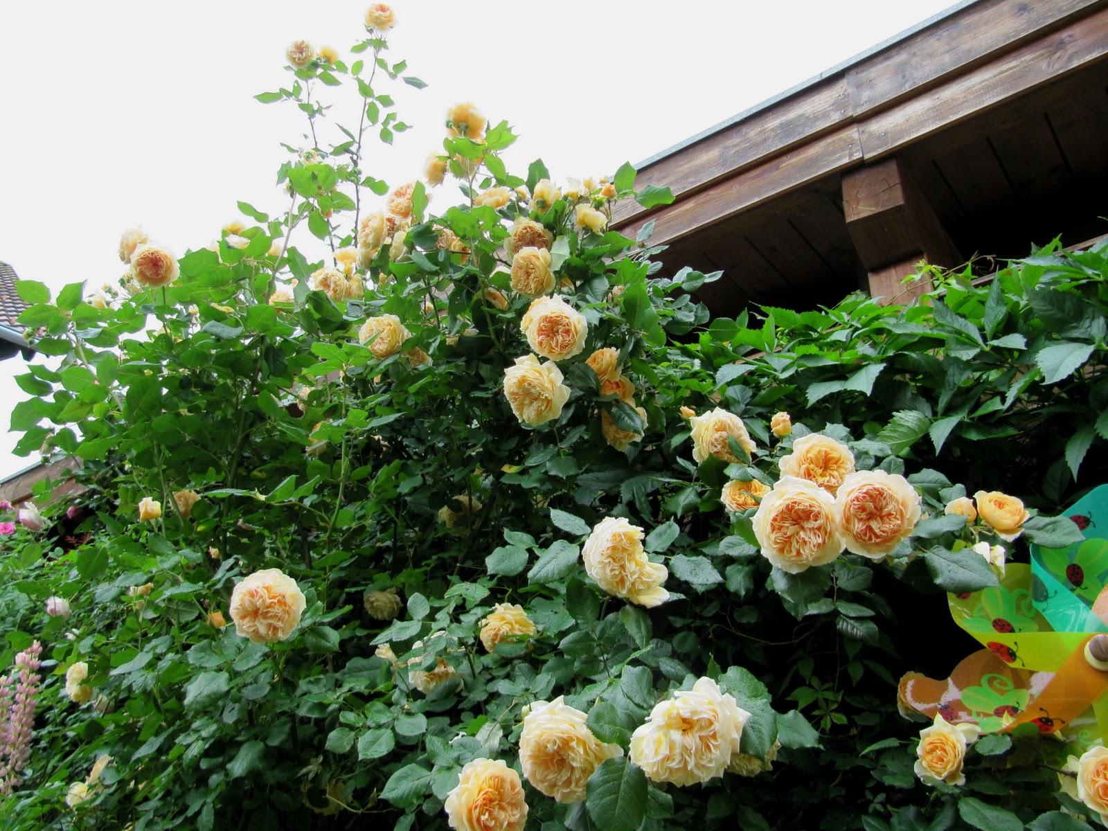 rosen zur ckschneiden rosen schneiden wie sie am besten vorgehen rosen zur ckschneiden auf. Black Bedroom Furniture Sets. Home Design Ideas