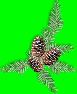 V~PineCones.jpg