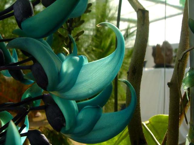 Hoa Móng Cọp quý hiếm - hoa mong cop xanh.5