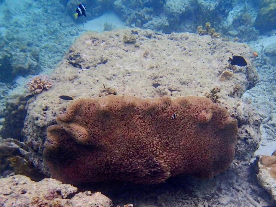Stichodactyla mertensii (Merten's Carpet Anemone), Entatula Island Beach Club reef, Palawan, Philippines.