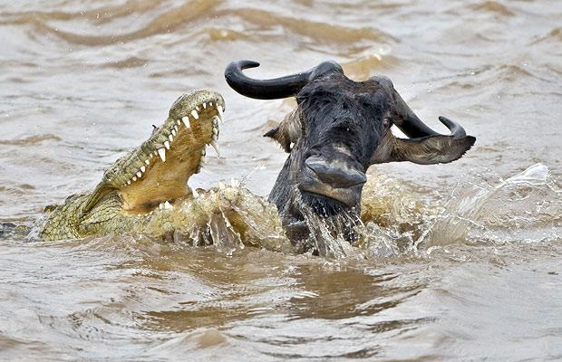 crocodile snatches at wildebeast crossing river