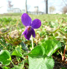 Fiołek pachnący kwitnący Viola odorata florescence