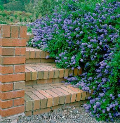 Arbusti da fiore da vaso o fioriere sempreverdi per for Cespugli fioriti perenni da giardino
