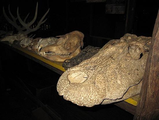 Questões e Fatos sobre Crocodilianos gigantes: Transferência de debate da comunidade Conflitos Selvagens.  - Página 3 Cr%25C3%25A2nio%2520de%2520pelo%2520menos%25205m