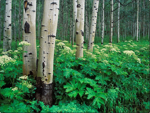 Aspen and Cow Parsnip,.jpg