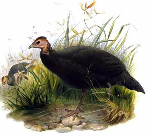 Цесарка темная черная (Agelastes niger)