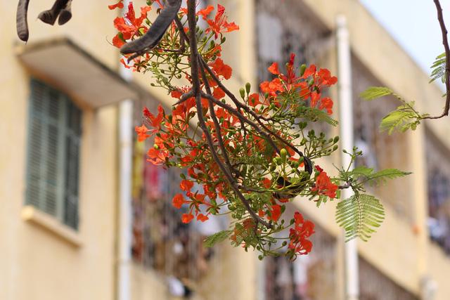 chùm hoa phượng cuối mùa Hè