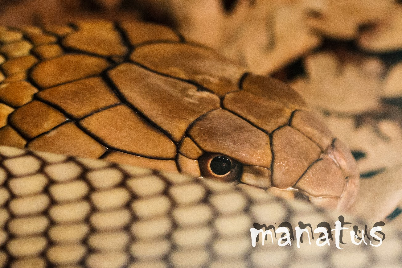 manatus foto blog serpiente