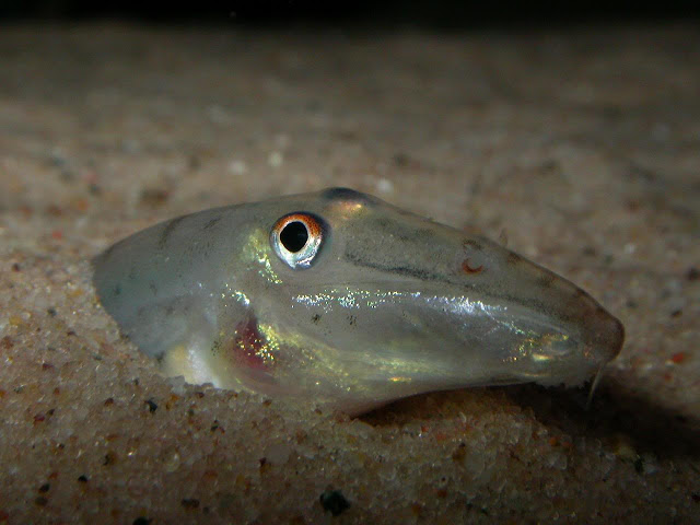 loach acantopsis choirorhynchos is a freshwater and brackish fish ...
