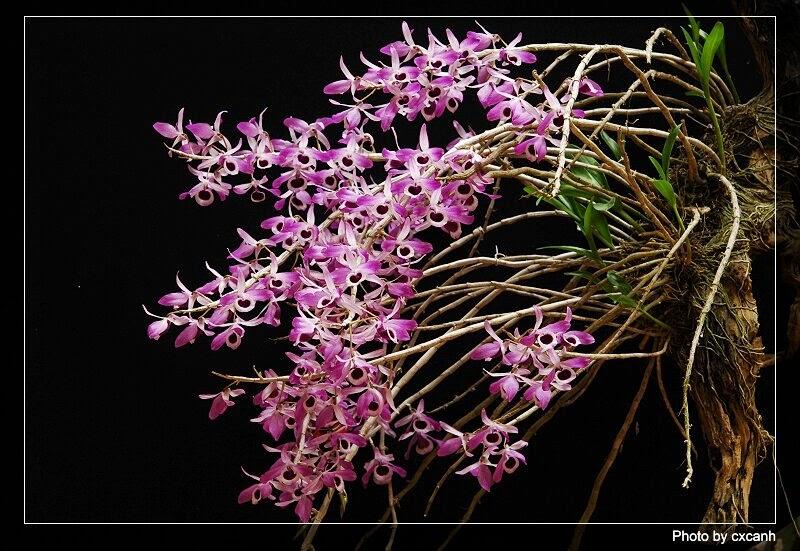 hoa phong lan hoang thao ken