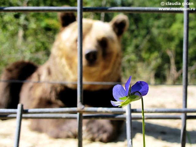 ursul si floarea