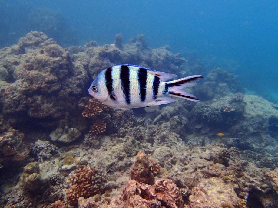 Abudefduf sexfasciatus (Scissortail Sergeant), Miniloc Island Resort reef, Palawan, Philippines.
