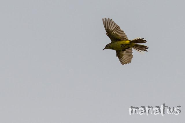 manatus foto blog pájaro vuelo