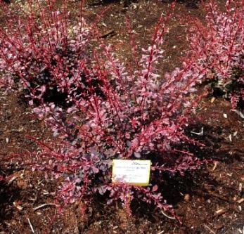 Berberys Thunberga pink queen