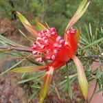 Lambertia formosa (Mountain Devils) are great in spring (150420)