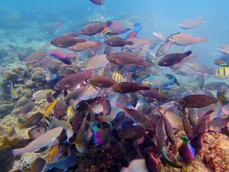 Feeding shoal, Miniloc Island Resort reef, Palawan, Philippines.