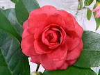 濃紅色 八〜千重咲き 中輪