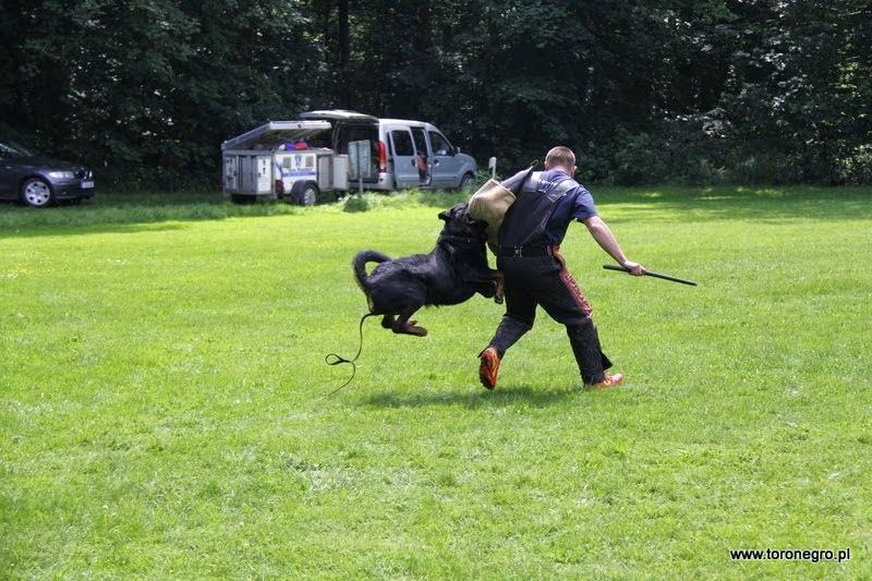 Rottweiler Cheko gryzie