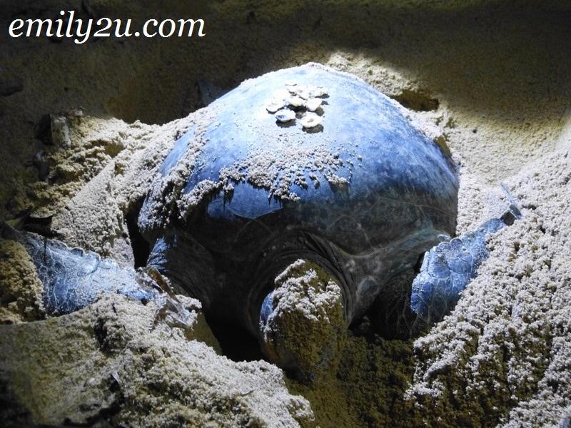 turtle watching Terengganu