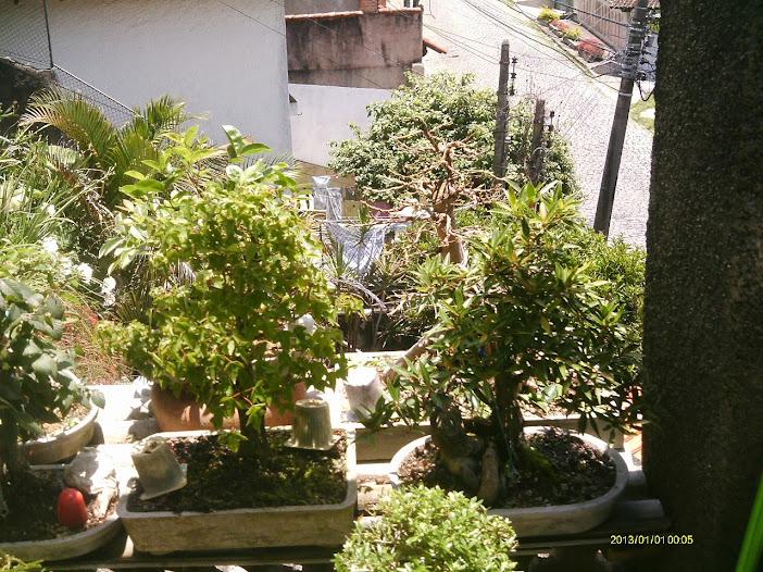Ficus Microcarpa var. Indica... - Página 2 IMAG0300