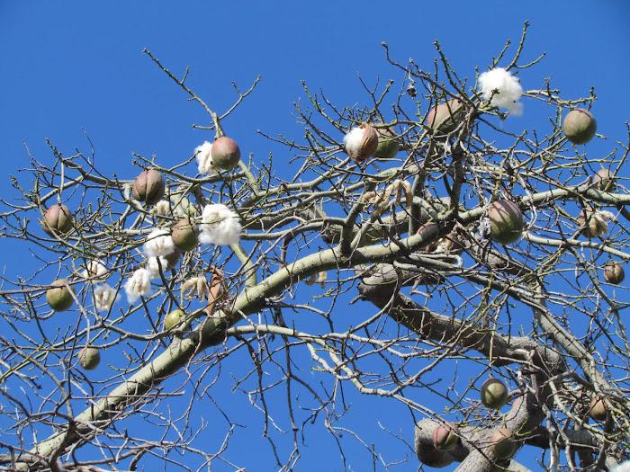 """sumauma"" tree"