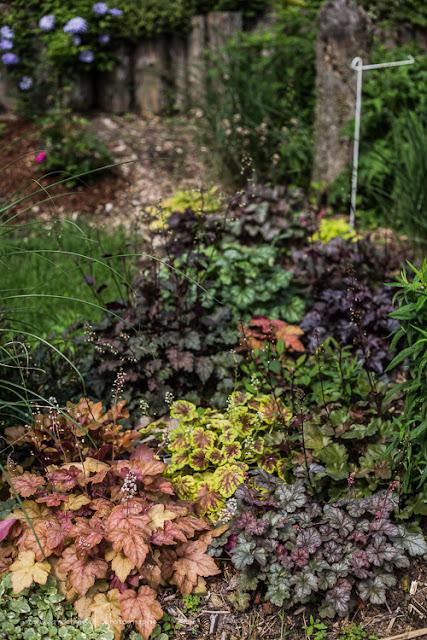 Heucherella  Redstone Falls Pb-des-erables-ouest-130625-84rm