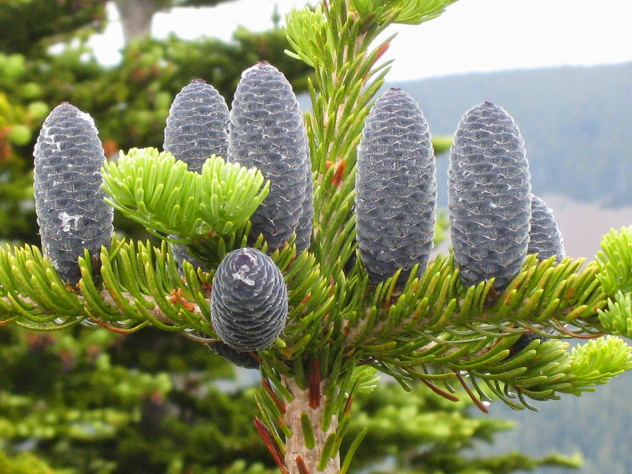 Red Fir Abies Magnifica Lilachs Investigations