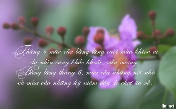 tháng sáu hoa bằng lăng tím nở
