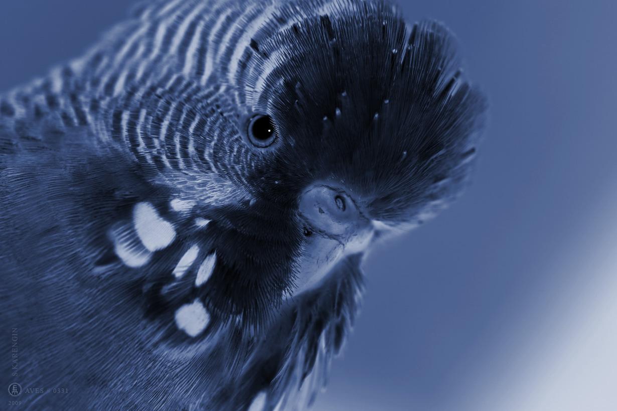 bedgerigas, photo, фото, фото-арт, art photography, perruche ondule, birds, parrot, wellensittich, melopsittacus undulatus, птицы