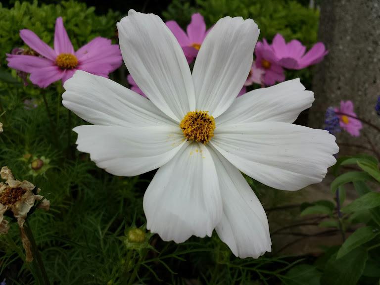 ดอกดาวกระจาย (Cosmos) ไม้ดอกล้มลุก