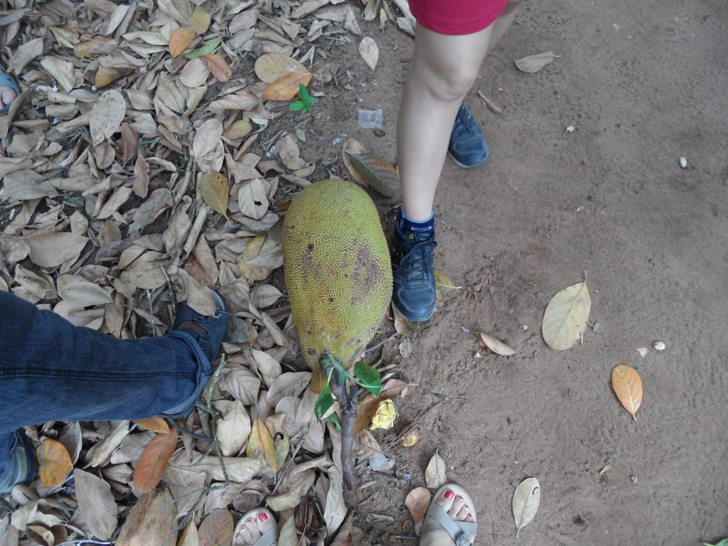 Ağaçta yetişen Jack Fruit