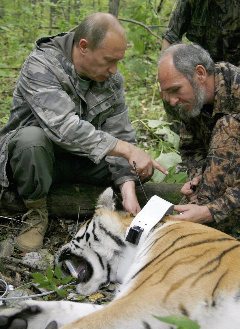 Siberian (amur) Tiger: Enemies