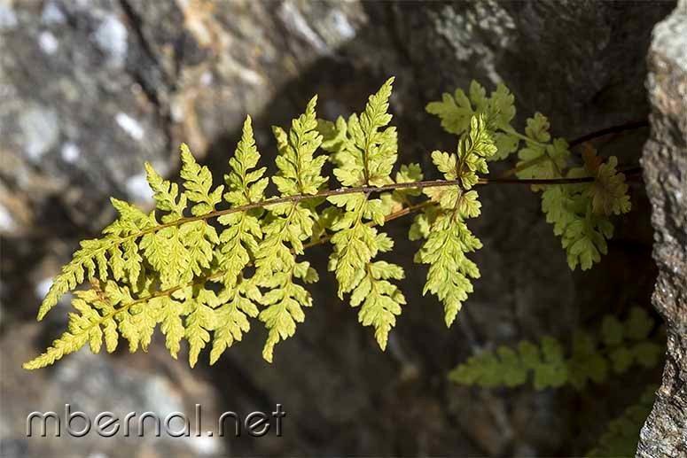 Cystopteris fragilis subsp. fragilis