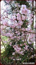 粉色櫻花與碧色樹叢的堆疊