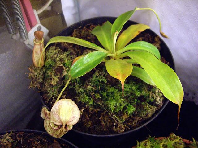 photos de mes orchidées en fleur - Page 2 IMGP4850