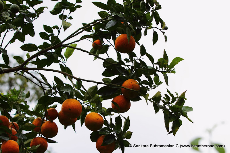 Citrus Fruits at Honey Valley
