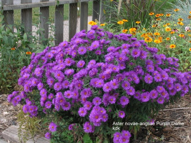 too late to cut back purple dome aster?, Beautiful flower