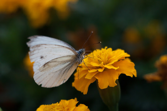 Индустар 61/ЛЗ, макросъемка бабочки.