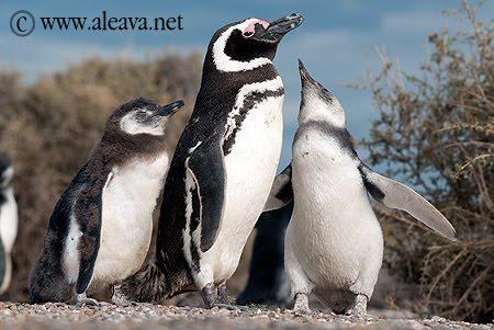 Pingüinos de Magallanes en el Verano de Península Valdés