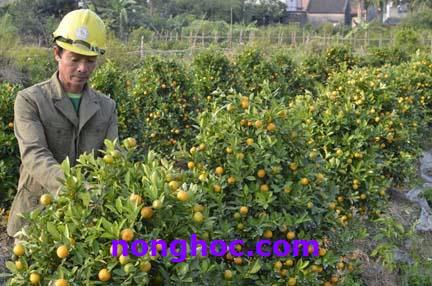 Rét đậm, rét hại tăng cường: Người trồng hoa, cây cảnh đứng ngồi không yên