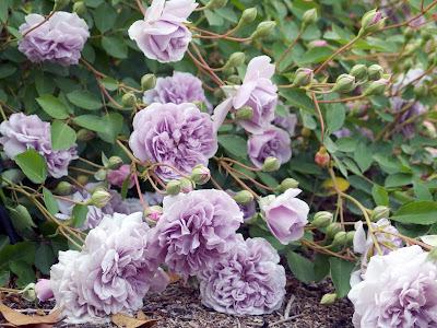 Hồng ngoại Rainy Blue siêng hoa đến mức hoa nằm dài trên cả mặt đất